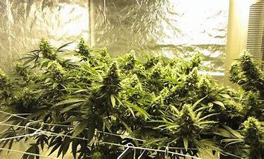 Image result for free wallpaper marijuana grower